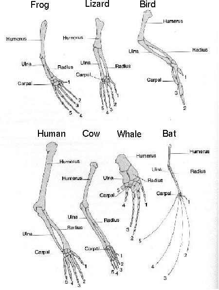 5 1 4 homologous structures and adaptive radiation